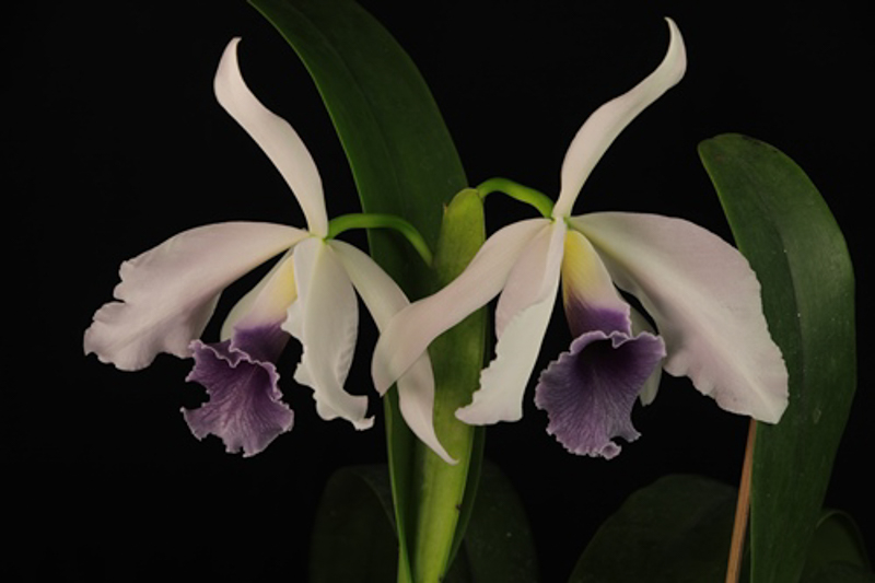 Recc Lemon Twist /' Myakka City /'  Orchid Plant Clone Cattleya Hybrid  bloom siz