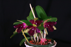 Pot. Paradise Beauty 'Marcela'