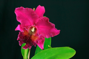 Blc. Pacific Torch