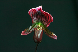 Paph. Holdenii 'Jac'