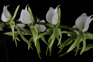 Angraecum Culture