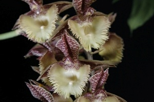 Ctsm. Frilly Doris 'Sunset Valley Orchids'