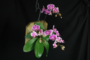 Dtps. (Phal.) Brother Pico Rose