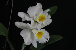 C. Old Whitey x Blc. (Rlc.) Six Bells