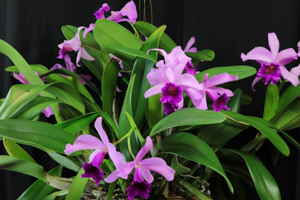 Cattleya NoId 'Purple Passion'