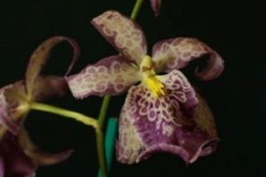 Bllra. Pacific Treasures 'Matriarch'