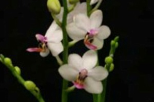 Phalaenopsis schilleriana photo courtesy of AOS