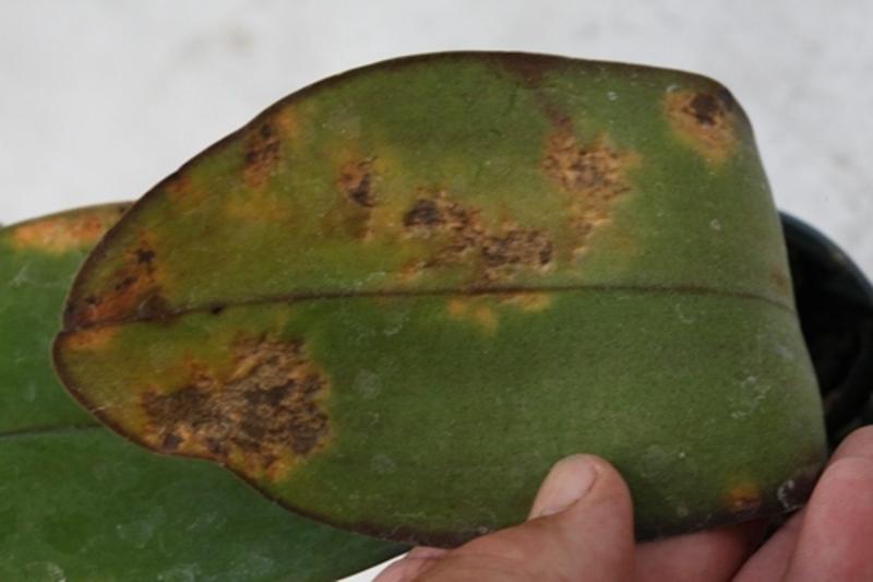 Image result for fusarium wilt on orchids