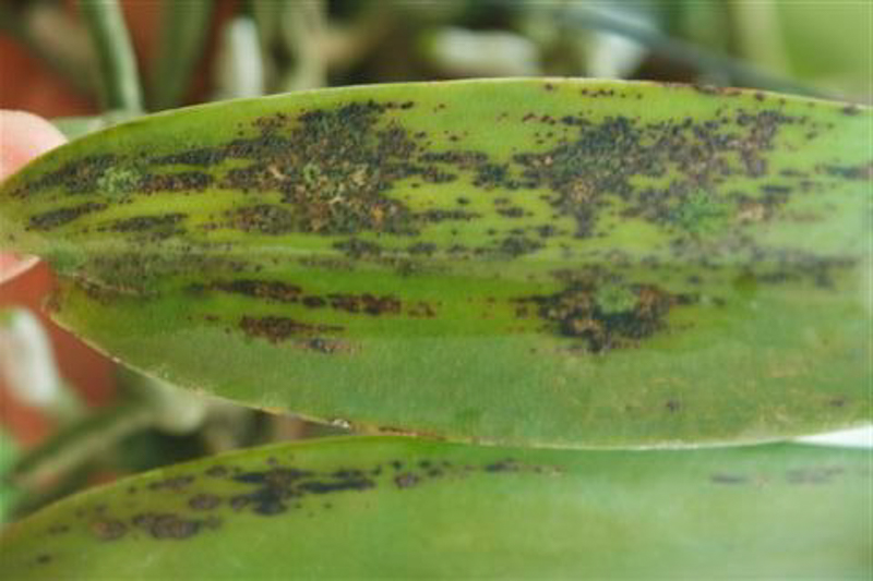 Image result for leaf spots on orchids