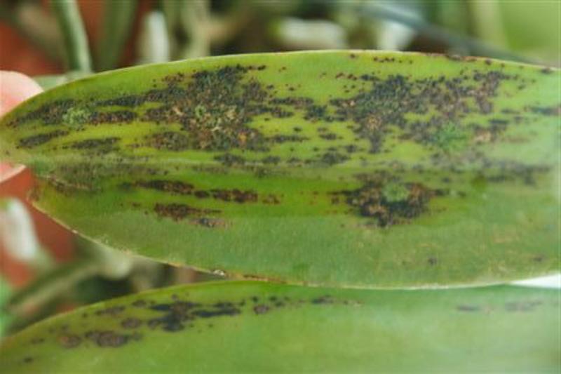 Image result for leaf spots on orchids