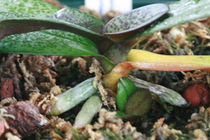 First Symptom of Sclerotium on Orchid is Leaf Yellowing