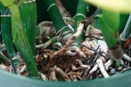 Rotten Pseudobulbs Cut Out of Pot