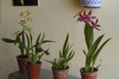 Oncidium Alliance Orchid Plants