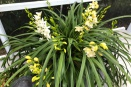 Cymbidium Repotting