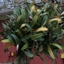 Leaves on Cattleya Yellowing
